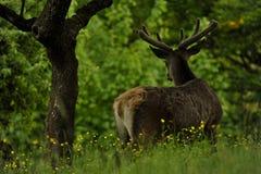 在草甸的鹿由有花的森林 库存图片