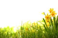 在草甸的黄水仙花 库存图片