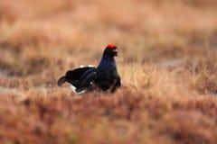 在草甸的黑松鸡 Lekking好的鸟松鸡,北欧产雷鸟类tetrix,在沼泽地,瑞典 在自然的冷的春天 野生生物sce 免版税图库摄影