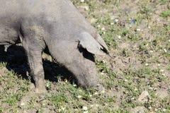在草甸的黑色利比亚猪 库存图片