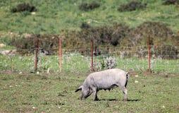 在草甸的黑色利比亚猪 免版税库存图片