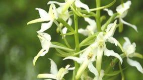 在草甸的更加伟大的蝴蝶兰花 影视素材