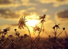 在草甸的延命菊日落的 免版税库存图片