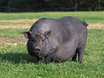 在草甸的黑怀孕的猪 库存图片