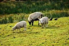 在草甸的绵羊 免版税库存照片