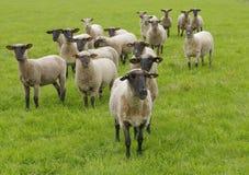 在草甸的绵羊 免版税库存图片