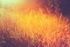 在草甸的黄色干燥秋天草 被定调子的立即照片 库存图片