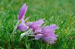 在草甸的紫色春天番红花 库存照片