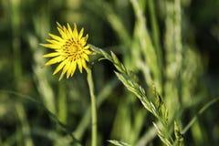在草甸的黄色花 免版税库存照片