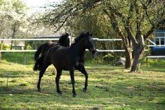 在草甸的Beautifulhorse 免版税库存图片