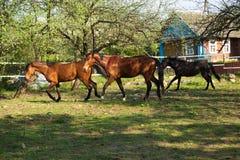 在草甸的Beautifulhorse 免版税库存照片