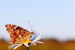 在草甸的Butterflie 免版税库存图片
