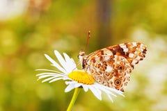 在草甸的Butterflie 库存照片