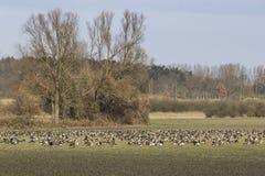 在草甸的Gooses在冬天,哈维尔兰县,布兰登堡 库存照片