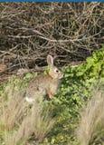 在草甸离开棉尾巴兔子北美洲兔类audubonii 免版税库存图片