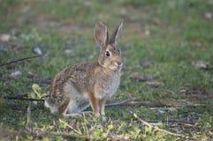在草甸离开棉尾巴兔子北美洲兔类audubonii 免版税库存照片