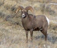 在草甸股票图象的大角野绵羊 库存照片