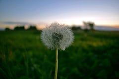 在草甸背景的蒲公英  图库摄影