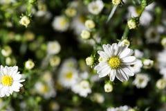 在草甸顶视图的许多戴西  春黄菊领域 关闭 图库摄影
