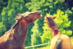 在草甸领域的两个棕色野马 库存图片