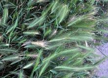 在草甸,大麦增长狂放 免版税库存图片