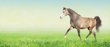 在草甸,横幅的阿拉伯马赛跑小跑 免版税库存图片