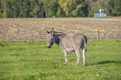 驴在草甸 库存图片