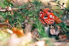 在草的一个狂放的秋天森林里增长的毒红色蘑菇蘑菇 免版税库存图片