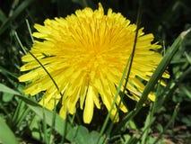 在草的一个蒲公英 库存照片