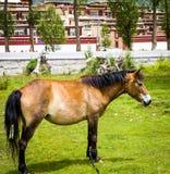 在草的一匹山马有西藏村庄背景 免版税库存照片