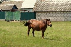 在草的一匹马 图库摄影
