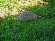 在草的一只乌龟 图库摄影