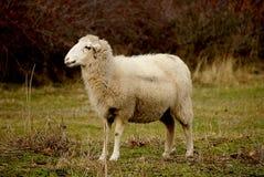 在草的一只唯一绵羊 他等待他的伴侣 免版税库存照片