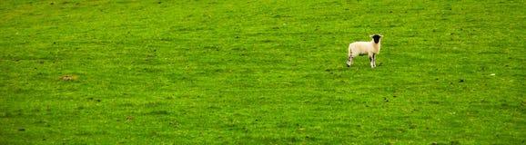 在草的一只孤独的绵羊 免版税库存照片