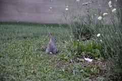 在草的一只小的兔子 免版税库存照片