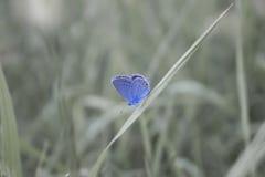 在草的一只小蓝色蝴蝶 免版税库存照片