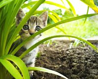 在草的一只小镶边小猫 热带 免版税库存照片