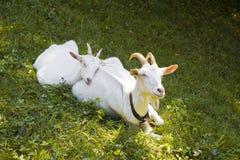 在草的一只母山羊 免版税库存照片