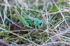 在草的一只绿色蚂蚱 宏观照片 库存照片