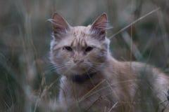 在草的一只美丽的猫调查照相机特写镜头反对强烈未聚焦的草背景 猫的纵向 自然,艺术 库存图片