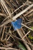 在草的一只美丽的蓝色蝴蝶 免版税库存图片