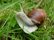 在草的一只蜗牛 免版税库存图片
