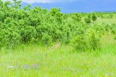在草的一只野生兔子 免版税库存图片