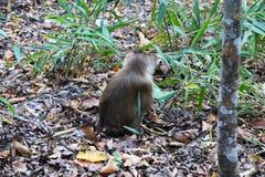 在草的一只猴子在森林里 免版税库存照片