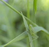 在草的一只绿色蚂蚱 夏天迷离背景 库存图片