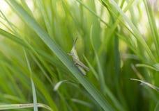 在草的一只绿色蚂蚱 夏天迷离背景 免版税库存图片