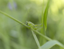 在草的一只绿色蚂蚱 夏天迷离背景 图库摄影