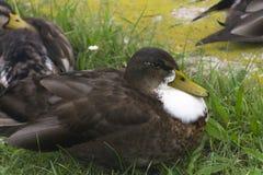 在草的一只黑褐色鸭子 免版税库存图片