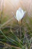 在草的一朵柔和的番红花, 免版税库存图片