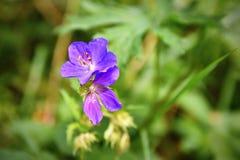 在草的一朵美丽的紫罗兰色花 自然五颜六色的背景 库存照片